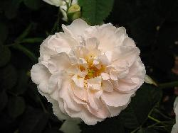 White Rose of York (Alba Maxima)