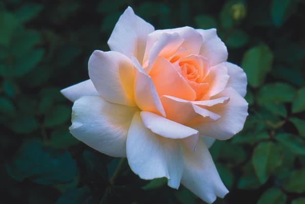 morten korch rose
